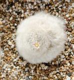 Blanco peludo lindo del bocasana del mammillaria con la pequeña flor Fotografía de archivo libre de regalías