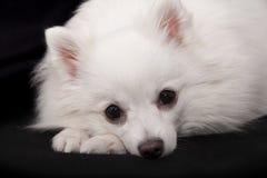 Blanco  Perro de Pomerania alemán imagen de archivo