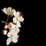 Blanco puro, floraciones delicadas del ciruelo salvaje en resorte Fotos de archivo libres de regalías