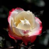 Blanco-rojo se levantó Fotos de archivo