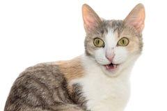 Blanco tricolor del retrato del gato Imagen de archivo libre de regalías