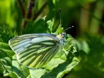blanco Verde-veteado, napi del Pieris - una especie de mariposa del día del Pieridae de la familia de Bielinkow fotos de archivo libres de regalías