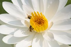 Blanco waterlily con las abejas Fotos de archivo