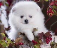 Blanco y bayas del perro de Pomerania Fotos de archivo