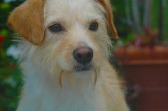 Blanco y broncear el perrito cabelludo de la raza de la mezcla del terrier del alambre imágenes de archivo libres de regalías