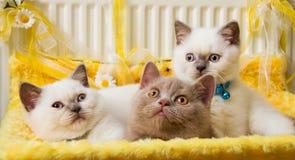 Blanco y Fawn British Shorthair Kittens Fotografía de archivo