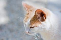 Blanco y gato del jengibre Fotos de archivo libres de regalías