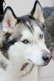 Blanco y Gray Adult Siberian Husky Dog o Sibirsky Husky With Blue y ojos de Brown Heterochromia Imagen de archivo