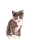 Blanco y Grey Kitten Imágenes de archivo libres de regalías