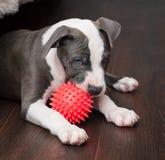 Blanco y Grey Pitbull que colocan con el juguete Fotos de archivo libres de regalías