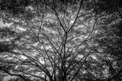 Blanco y negro de árbol grande viejo imagenes de archivo