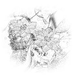 Blanco y negro de la flor de la Navidad - poinsetia Fotos de archivo