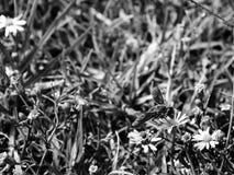Blanco y negro, foto del perfil de una abeja que chupa el néctar de un wildflower Imagen de archivo