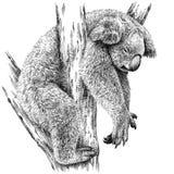 Blanco y negro grabe el ejemplo aislado de la koala Imágenes de archivo libres de regalías