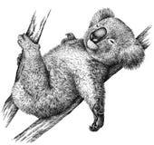 Blanco y negro grabe el ejemplo aislado de la koala Fotografía de archivo libre de regalías