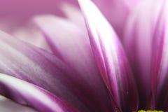 Blanco y púrpura Imagen de archivo
