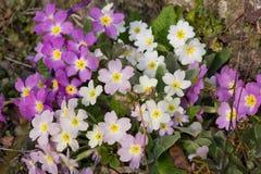 Blanco y púrpura florece las primaveras (la prímula vulgaris) Foto de archivo