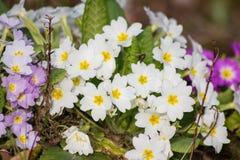 Blanco y púrpura florece las primaveras (la prímula vulgaris) Imagen de archivo