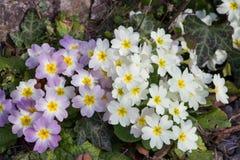 Blanco y púrpura florece las primaveras (prímula vulgaris) en una cama Imagen de archivo libre de regalías