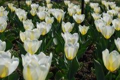 Blanco y Pale Yellow Tulips en un jardín del bulbo Imagen de archivo libre de regalías