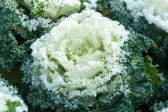 Blanco y verde de col ornamental Foto de archivo