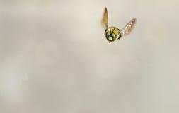 Blancos hechos frente manosean el vuelo de la abeja hacia la cámara Foto de archivo libre de regalías
