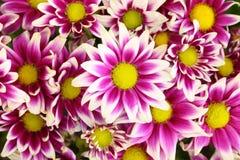 bland för chrysanthemumdendranthemumgrandifflora arkivbilder