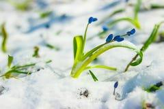 Bland insnöat den synliga blåa snödroppen för sol, vår royaltyfria foton