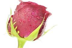 bland rosa Royaltyfri Fotografi