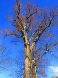 Bland Tree on Bluest Sky Royalty Free Stock Photos