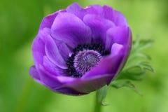 blanda anemone στοκ φωτογραφία