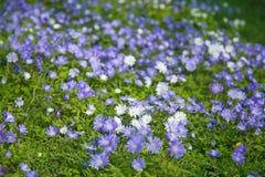 blanda del anemone Fotografie Stock