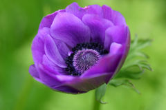Blanda do Anemone Fotografia de Stock