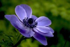 Blanda van de anemoon stock foto's