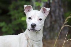 Blandad avelhund för kvinnlig vit terrier Fotografering för Bildbyråer
