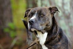 Blandad avelhund för strimmig Anatolian herde Royaltyfri Bild