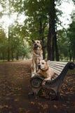 Blandad avelhund och amerikanska Staffordshire Terrier Arkivbild