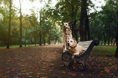 Blandad avelhund och amerikanska Staffordshire Terrier Royaltyfria Bilder