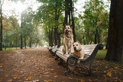 Blandad avelhund och amerikanska Staffordshire Terrier Royaltyfri Fotografi