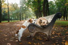 Blandad avelhund och Jack Russell Terrier Royaltyfri Foto
