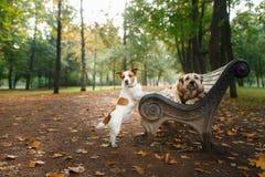 Blandad avelhund och Jack Russell Terrier Royaltyfria Bilder