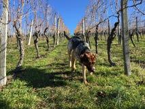 Blandad avelhund på gröna gras i en vintervingård royaltyfri fotografi