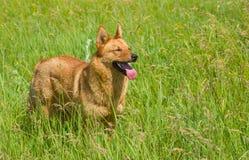 Blandad avelhund som söker efter någon gyckel Royaltyfri Foto
