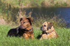 Blandad avelhundkapplöpning för tysk herde och Puggle arkivfoto
