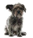 Blandad-föda upp hunden, 3 gammala som år sitter Royaltyfri Foto