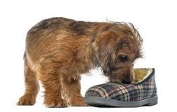 Blandad-föda upp hundvalpen, 3 gammala som månader sniffar Arkivfoton