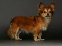 Blandad hundstående Arkivfoto