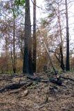 Blandad skog efter en brand Royaltyfria Bilder