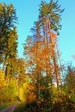 Blandad skog för höst på en bakgrund för blå himmel, lodlinje Royaltyfri Fotografi