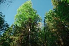 Blandad skog för sommar för kronaträdhimmel Royaltyfria Bilder